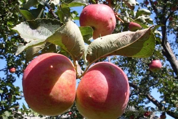 Жигулёвское – это сорт яблони!