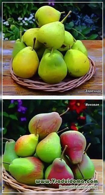 Особенности выращивания и ухода за грушей сорта таврическая