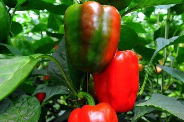 Перец «золотое чудо»: замечательный вкус и шикарный вид