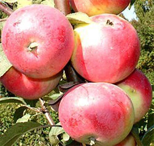 Сорт яблок заветный: описание и характеристики, посадка, уход и профилактика заболеваний