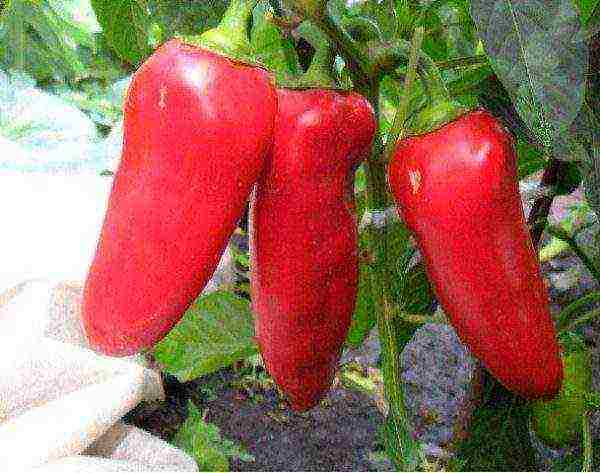 Перец болгарский красная лопата