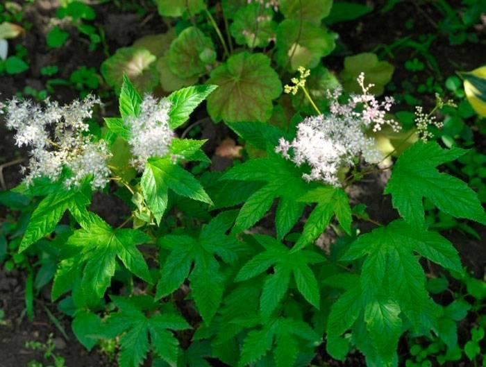 50 фото и описание растения таволга,  его полезные свойства и противопоказания