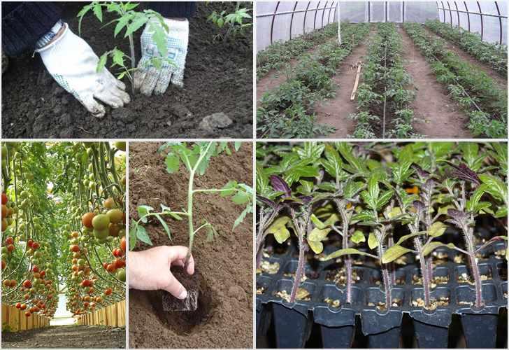 Оптимальная температура грунта для помидоров