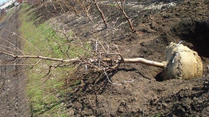 Когда лучше пересаживать деревья: весной или осенью
