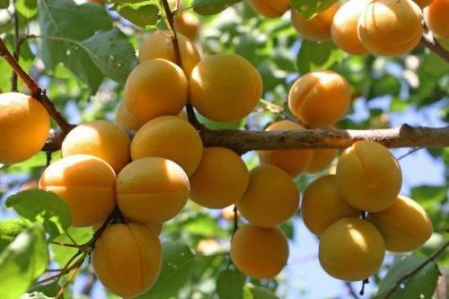 Характеристика и правила выращивания абрикоса графиня