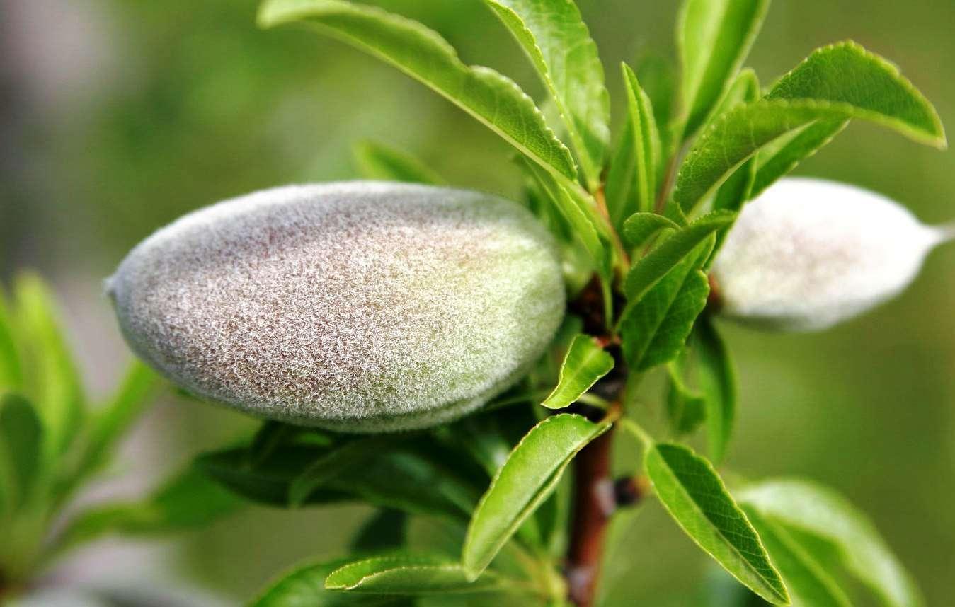 Чем полезен миндальный орех для женщин?