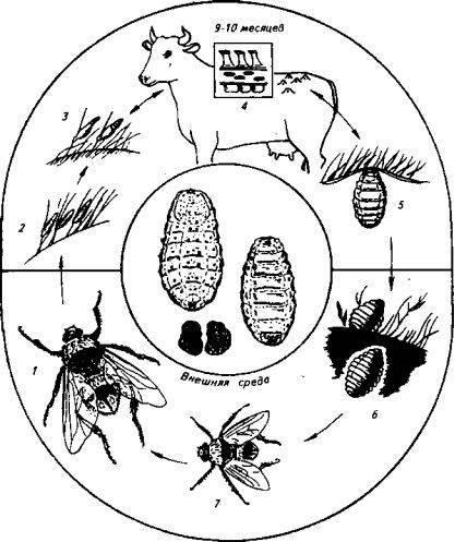 Гиподерматоз (подкожный овод) у крупного рогатого скота: диагностика, симптомы и лечение