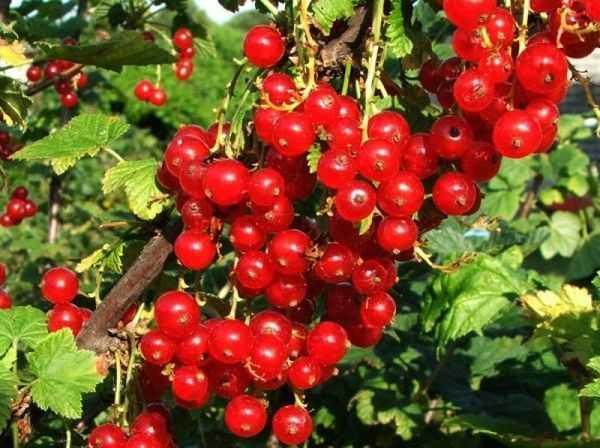 Красная смородина уральская красавица — основные характеристики