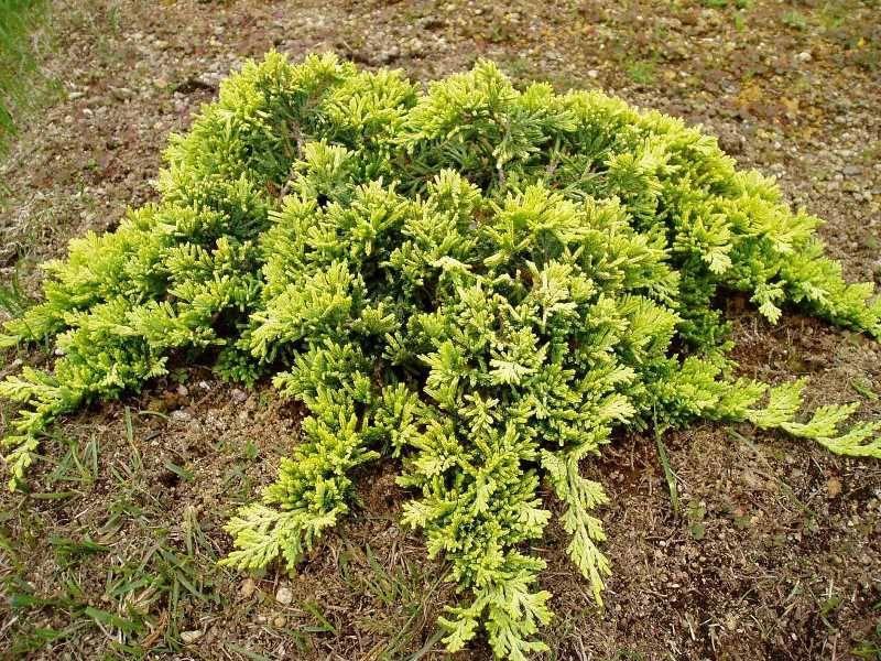 Можжевельник горизонтальный - посадка и уход, размножение, выращивание, виды и сорта, обрезка