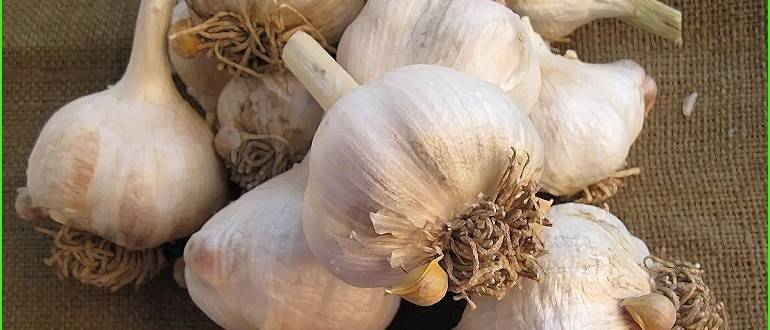 Чудо-овощ лук-чеснок, или рокамболь: все о нем