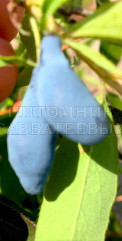 Раннеспелый устойчивый сорт жимолости васюганская