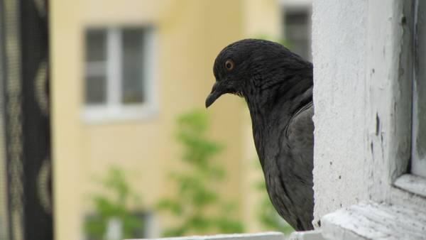 Как избавиться от голубей: на балконе, подоконнике или крыше
