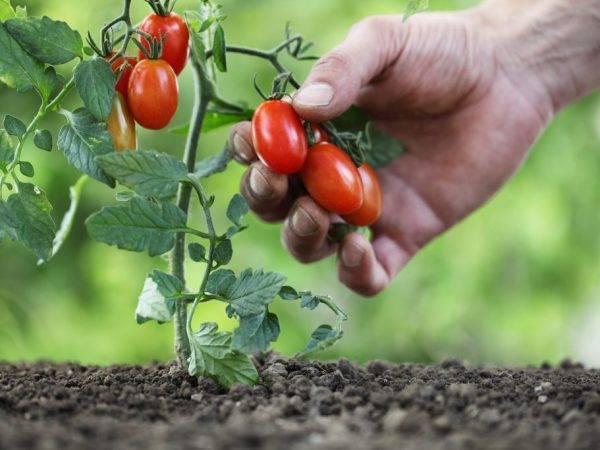 Штамбовые томаты для открытого грунта — лучшие сорта