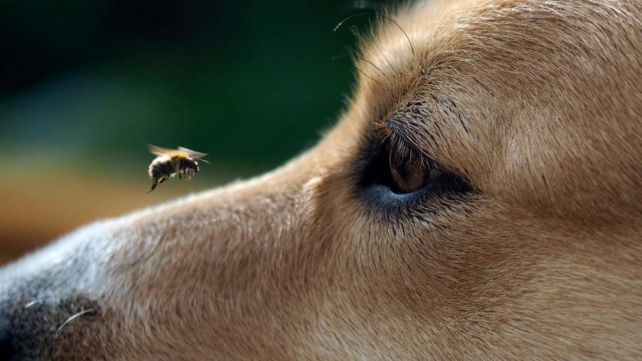 Собаку укусила пчела: что делать в домашних условиях