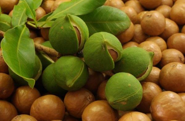 Орех макадамия для мужчин: чем полезен и вреден, какие имеет противопоказания и как правильно его употреблять?