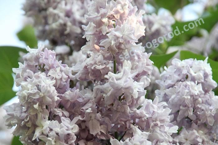 Сирень красавица москвы: 3 совета и 6 особенностей