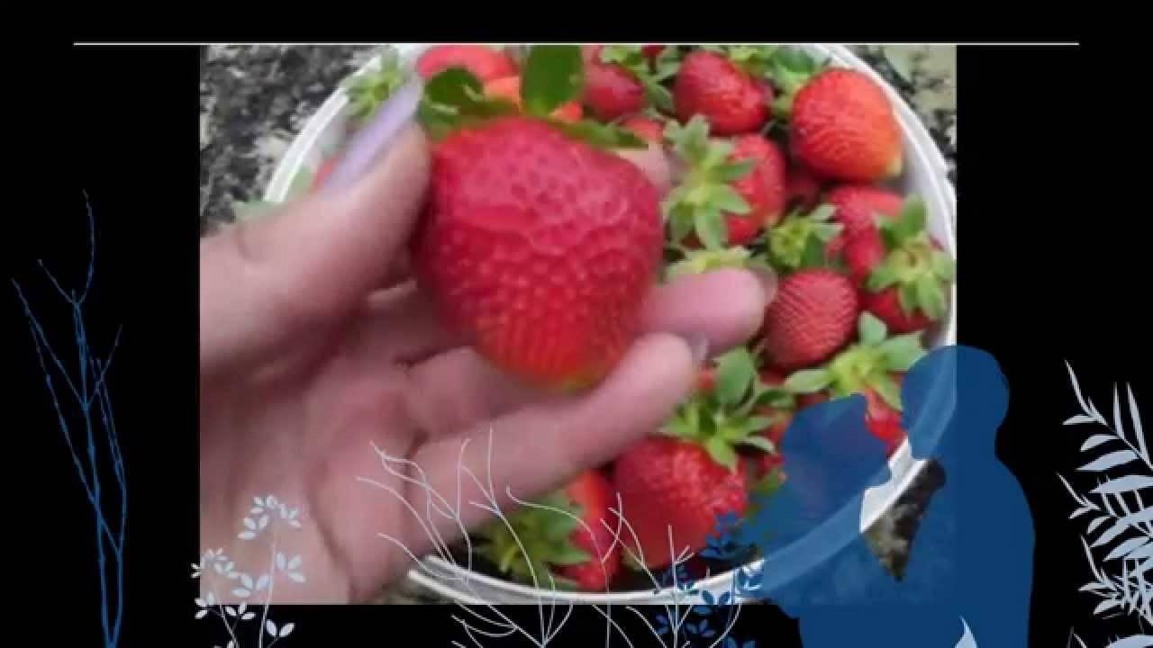 Сорт клубники лия сахарная — характеристики, посадка, уход