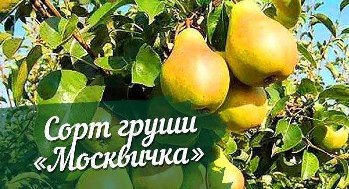 Груша москвичка: подробное описание и характеристика плодового дерева