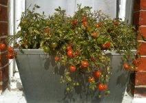 Помидоры черри: выращивание в домашних условиях на подоконнике
