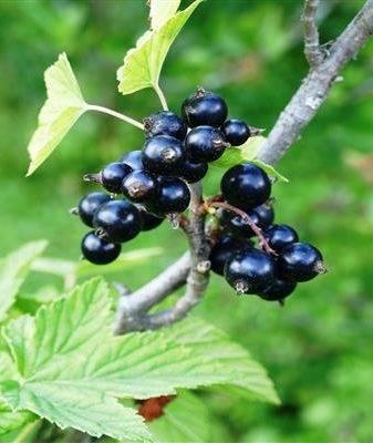 Смородина чёрная белорусская сладкая - описание сорта