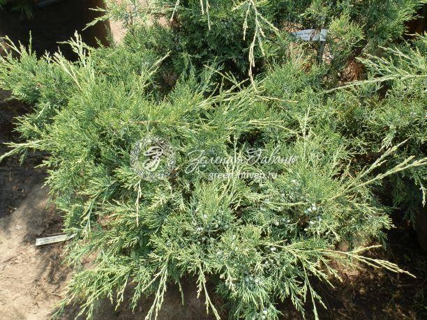 Можжевельник виргинский хетц (juniperus virginiana hetz)