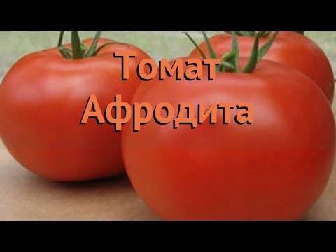 Любимый огородниками во всех регионах страны томат «афродита f1»: отзывы, преимущества и недостатки сорта