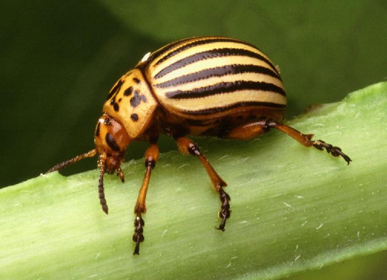 Эффективные народные средства от колорадского жука на картошке