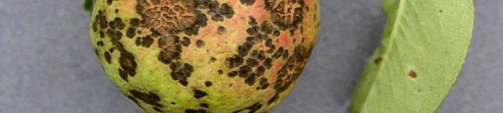 Чем обработать грушу от парши