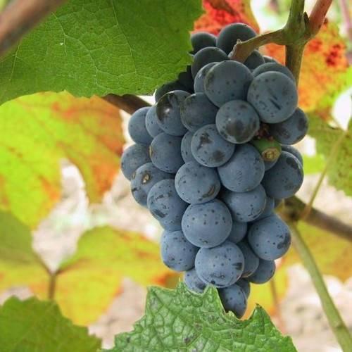 Амурский виноград — вкусный и полезный