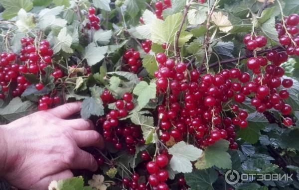 Сорт красной смородины ася: характеристика, плюсы и минусы