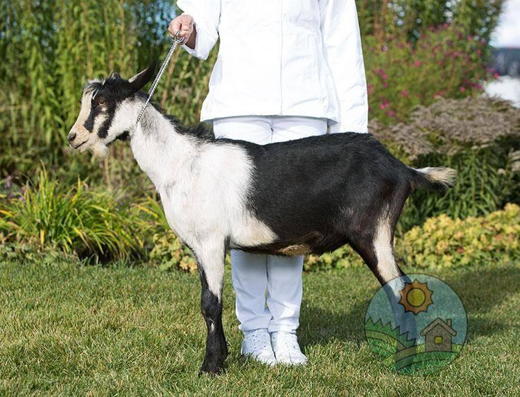 Содержание и уход за альпийскими козами