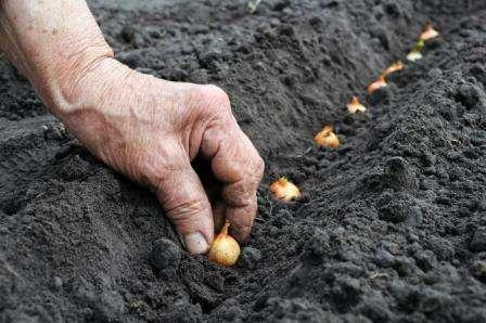 Сорт лука геркулес: описание и особенности выращивания