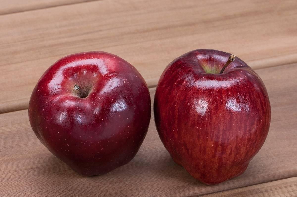 Яблоня ред чиф: описание сорта, фото, посадка, отзывы
