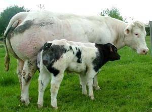 Даём кличку корове правильно: принципы подбора красивых имён