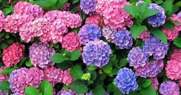 Чем полить гортензию, чтобы она изменила цвет на синий или розовый: все средства