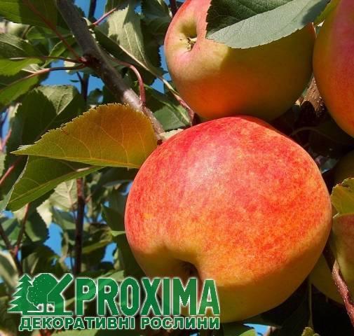 Описание и характеристика сорта яблок чемпион