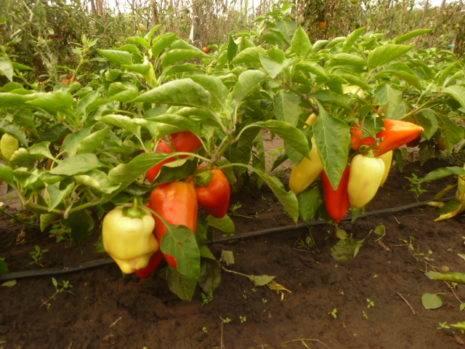 Лучшие сорта сладкого перца на 2020 год для теплиц в подмосковье подскажут опытные огородники