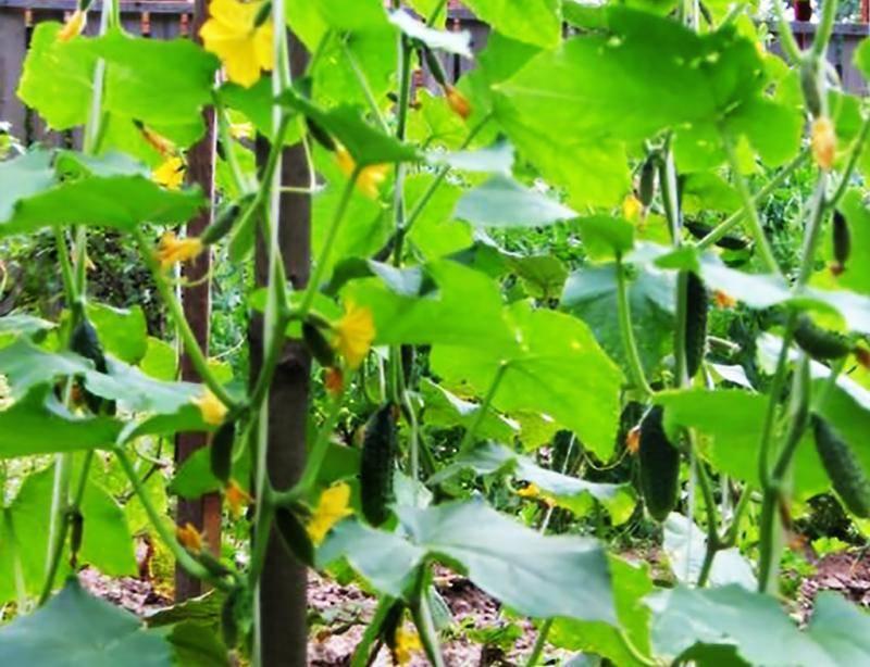 Топ-9 гибридов огурцов для выращивания в теплице