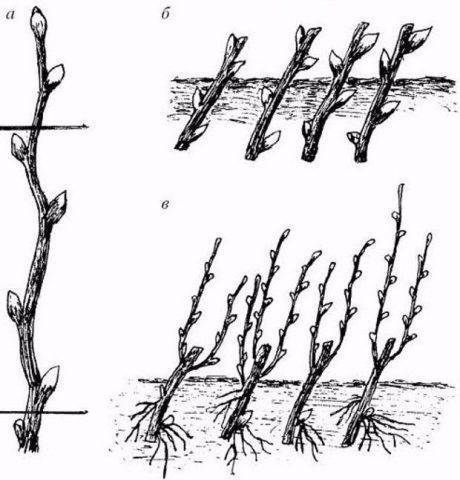 Барбарис: выращивание и размножение