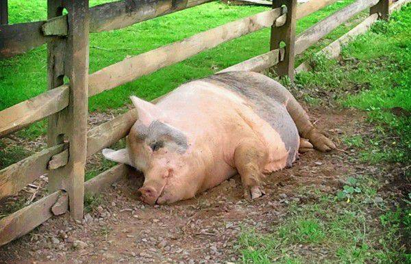 Кострец свиной где находится фото