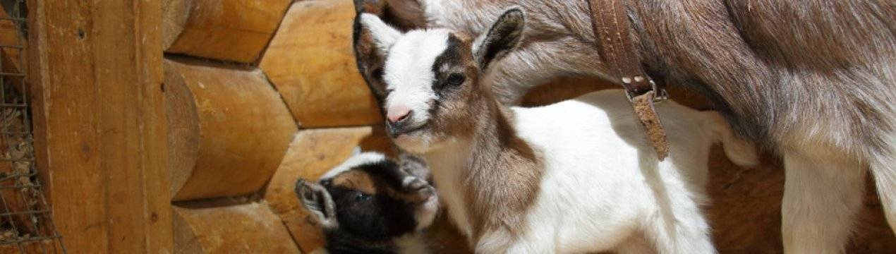 Карликовые козы: особенности ухода