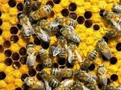 Пчелиный воск: полезные свойства и вред   польза и вред