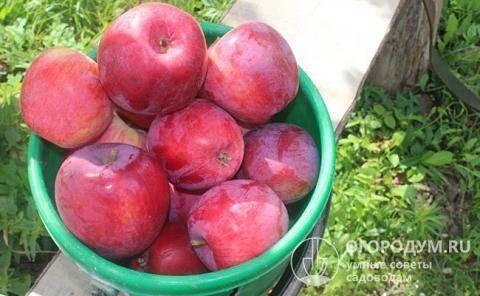 Характеристика коваленковского позднелетнего сорта яблони