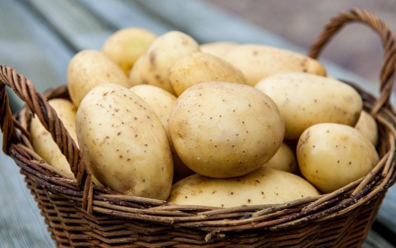 Самые вкусные сорта картофеля, в том числе для пюре, жарки, варки: особенности поздних и урожайных видов