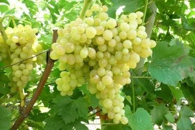 Описание венгерского винограда сорта кишмиш 342, посадка и уход