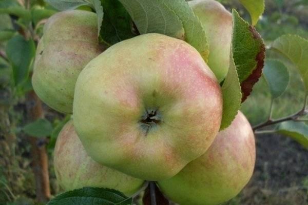 Особенности скороплодного сорта яблони синап орловский