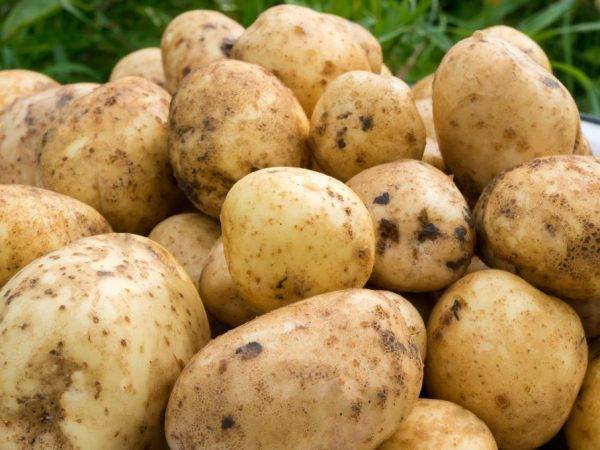 Ранний столовый сорт картофеля, который не боится резких перепадов температур, «маделина»