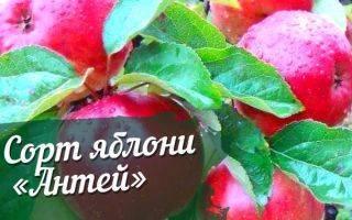 Яблоня Ауксис: описание, уход, фото, опылители и отзывы садоводов