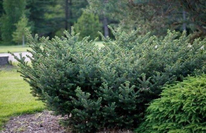 Пихта субальпийская: лучшие сорта и особенности выращивания