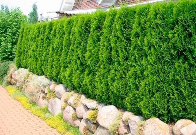 Живая изгородь из туй (28 фото): какая туя лучше подходит для забора? на каком расстоянии и как сажать? как сделать зеленую изгородь вокруг дома своими руками?